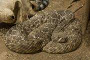 Desert Dome Photos - A Diamondbacked Rattlesnake by Joel Sartore