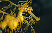 Leafy Sea Dragon Posters - A Diminutive Leafy Sea Dragon Poster by Jason Edwards
