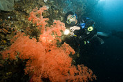 Malapascua Island Photos - A Diver Looking At A Large Soft Coral by Tim Laman