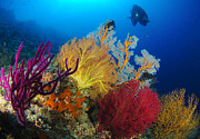 Soft Coral Posters - A Diver Looks On At A Colorful Reef Poster by Steve Jones