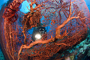 New Britain Prints - A Diver Peers Through A Red Sea Fan Print by Steve Jones