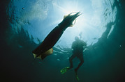 Giant Squid Posters - A Diver Swimming Near A Giant Or Poster by Brian J. Skerry