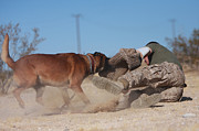 Attack Dog Photos - A Dog Handler Works On Take-down by Stocktrek Images