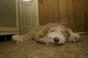 Linoleum Photo Posters - A Dog Lies On A Linoleum Floor Poster by Joel Sartore