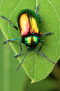 By Animals Posters - A dogbane leaf beetle, Poster by George Grall