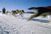 North Pole Prints - A Dogsled Team Whizzes Past The Camera Print by Maria Stenzel