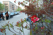 Dogwood Photos - A Dogwood grows in Brooklyn by Julie VanDore