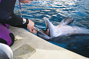 Aquariums Photos - A Dolphin Has Its Teeth Cleaned by Clarita Berger
