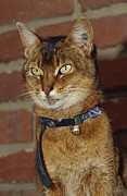 Pet Collar Posters - A Domestic Abyssinian Cat With Yellow Poster by Jason Edwards