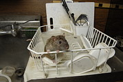Sutton Photos - A Domestic Rat At The George M. Sutton by Joel Sartore