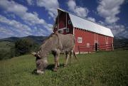 Agricultural Structures Posters - A Donkey Grazing Near A Large Red Barn Poster by Ed George
