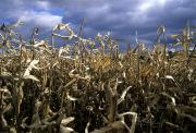Cornstalks Prints - A Dried Corn Field Awaits Harvesting Print by Stacy Gold