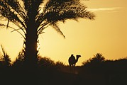 Camel Photos - A Dromedary Camel Is Silhouetted by Carsten Peter