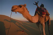 Camel Photos - A Dromedary Camel Stands In The Warm by Carsten Peter