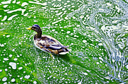 Buying Online Tapestries Textiles Posters - A duck swims Poster by Benny  Woodoo