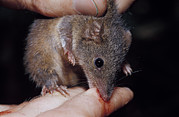 Biting Posters - A Dusky Antechinus Biting The Finger Poster by Jason Edwards