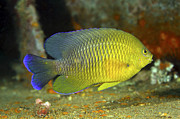 Damselfish Framed Prints - A Dusky Damselfish Offshore From Panama Framed Print by Michael Wood
