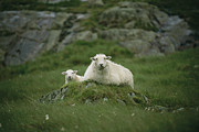 Roosting And Resting Prints - A Ewe And Her Lamb Resting On A Small Print by Joel Sartore