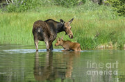North American Wildlife Posters - A Family Affair Poster by Sandra Bronstein