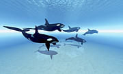 A Family Of Killer Whales Search Print by Corey Ford