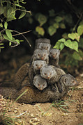 Bonding Metal Prints - A Family Of Mongooses Metal Print by Mark C. Ross