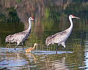 Cranes Photo Prints - A Family Outing Print by LaMarre Labadie