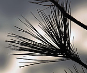 Pine Needles Photos - A Fan Of Needles by Marie Jamieson