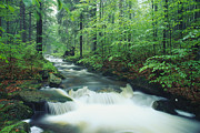 Woodland Scenes Posters - A fast moving stream Poster by Norbert Rosing
