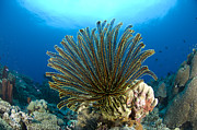 New Britain Prints - A Feather Star With Arms Extended Print by Steve Jones