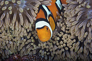 Pomacentridae Posters - A Female Clownfish Looks After Her Eggs Poster by Terry Moore