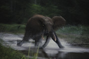 Central African Republic Photos - A Female Elephant Charges by Michael Nichols