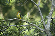 Turkey Metal Prints - A Female Golden Oriole Perches Metal Print by Klaus Nigge