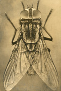 Flies Framed Prints - A Female House Fly Resting On Glass Framed Print by N.A. Cobb