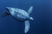 Featured Posters - A Female Leatherback Turtle Dives Poster by Brian J. Skerry