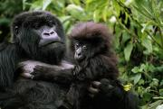 Animal Family Prints - A Female Mountain Gorilla And Her Child Print by Michael Nichols