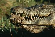 Reptiles Art - A Female Nile Crocodile Carries by Jonathan Blair