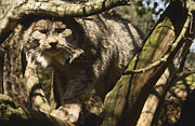 Dappled Light Photo Metal Prints - A Female Northern Lynx With Her Thick Metal Print by Jason Edwards