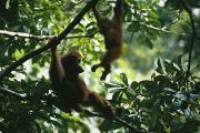 Orangutans Photos - A Female Orangutan And Her Baby by Tim Laman