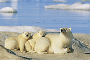 Ice Floes Art - A Female Polar Bear And Her Cubs by Norbert Rosing