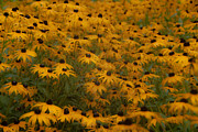 A Field Full Of Flowers Print by Michael Rucci