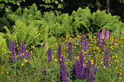 Wisconsin Wildflowers Prints - A Field Of Ferns, Lupines And Other Print by Medford Taylor