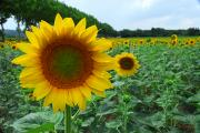 Provence Photos - A Field Of Sunflowers In Bloom by Anne Keiser