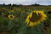 Chianti Tuscany Posters - A Field Of Sunflowers In Tuscany Poster by Todd Gipstein