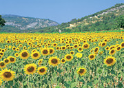 Yellow Sky Prints - A Field Of Sunflowers Print by Stockbyte