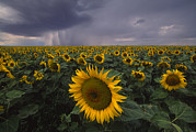 Denton Prints - A Field Of Sunflowers Under A Dark Print by Michael Melford