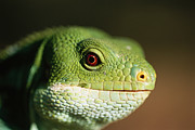 Lizards Photos - A Fijian Banded Iguana At The Houston by Joel Sartore