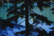 Fir Trees Prints - A Fir Tree In Silhouette Partially Print by Raymond Gehman