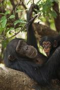 Senegal Photos - A First-time Mother Chimpanzee Reclines by Frans Lanting