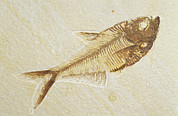 Backbone Prints - A Fish Fossil, Diplomystus Dentatus Print by Jason Edwards