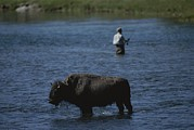 American Bison Prints - A Fisherman And Buffalo Share Water Print by Raymond Gehman